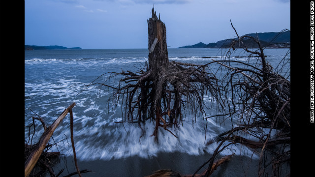 <strong>Third prize -- general news stories: </strong><!-- --> </br>Pine trees uprooted during the 2011 tsunami lie on the beach in Rikuzentakata, Japan, on March 7, 2012.