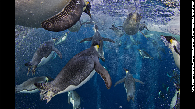 <strong>First prize -- nature stories: </strong>Emperor penguins swim in Antarctica's Ross Sea on November 18, 2011.
