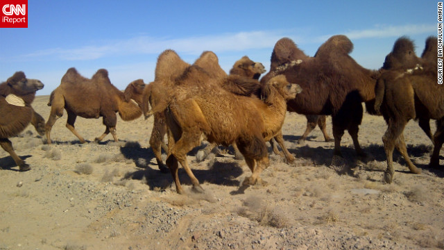 Camels walk through the Gobi Desert. See more photos on <a href='http://ireport.cnn.com/docs/DOC-889113'>CNN iReport</a>.