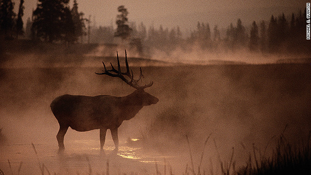 Symbolically rising from primordial mist, a bull elk stands in the early morning smoke of the Yellowstone National Park fires.