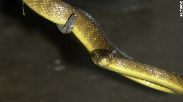 The brown tree snake, like this one on Andersen Air Force Base, has wiped out bird species on Guam.