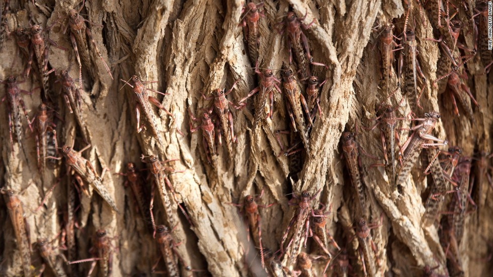 Locusts that recently arrived from Egypt cling to a tree in Kmehin, Israel, on Wednesday, March 6. Tens of millions of locusts have overtaken Egyptian desert land in the past few days and are heading to Israel and Jordan, according the <a href='http://www.fao.org/ag/locusts/en/info/info/index.html' target='_blank'>United Nations Food and Agriculture Organization</a>. The last time Israel experienced a major infestation was in 2004.