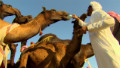 Festivals celebrate culture, camels