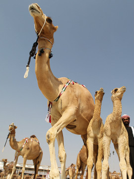 The event is intended to help preserve purebred camel lines of the region, including the light-skinned asayal, pictured here. 