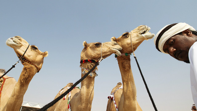 The UAE\'s camel beauty pageant