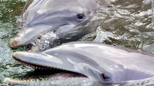 Bottlenose dolphins swim at a research center in Key Largo, Florida.