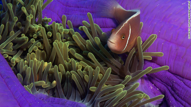 A clown fish swims through a vibrant anemone.