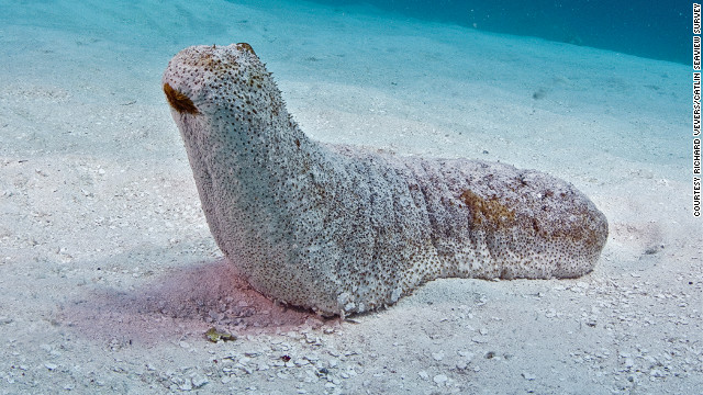 When spawning, sea cucumbers release their gametes into the surrounding currents for reproduction by nearby larvae.