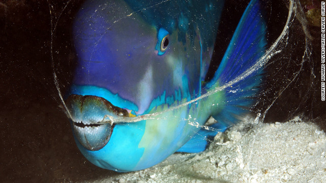 A parrotfish exhales while hiding in the coral off the coast of Heron Island.