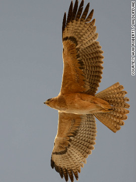 The majestic Bonelli's eagle in full flight.