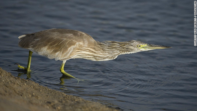 The squacco heron breeds in southern Europe and the Middle East and winters in Africa.