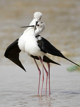 A pair of black-winged stilts on the waters of Lake Zakher.