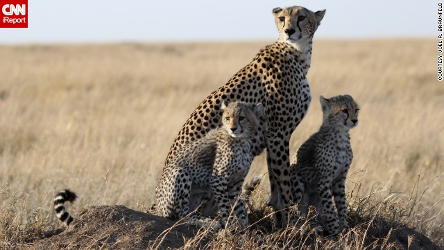 A family of cheetahs enjoys the early morning light in Tanzania's Ngorongoro crater.