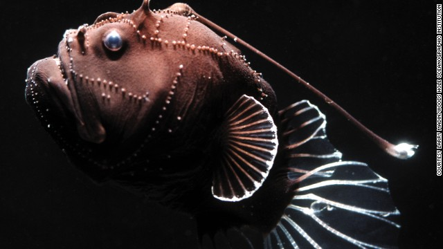 This deep-sea angler fish was collected by a submersible. Just three inches long but fierce-looking, it has a long spine tipped with bioluminescent tissue that it can dangle in front of its mouth.