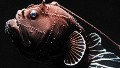 This deep-sea angler fish was collected from a submersible. Just 3 inches long but fierce-looking, it has a long spine tipped with bioluminescent tissue that it can dangle in front of its mouth. 