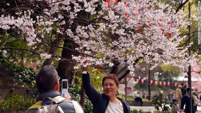 Hanami parties, usually a walk in a park or a picnic under the trees, date back centuries to when it was primarily a royal or aristocratic activity. There are more than one hundred cherry tree varieties in Japan. The most popular variety is the Yoshino Somei. 
