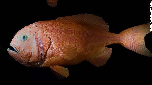 Bottom-trawling's knock-on impacts are best illustrated by the plight of the deep-sea fish, the orange roughy (also known as slimeheads). Populations have been reduced by more than 90%, according to marine scientists.<!-- --> </br>