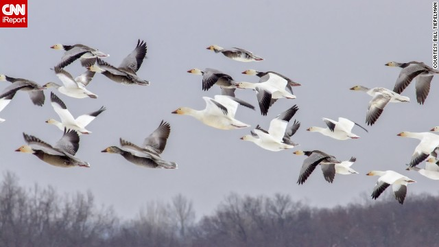 "Snow geese migrate over Missouri. ""They were impossible to miss based on the <a href='http://ireport.cnn.com/docs/DOC-940785'>sheer quantity</a>,"" said Bill Tiepelman, who thinks there must have been thousands."