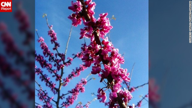 Blossoming buds herald the start of spring. <a href='http://ireport.cnn.com/docs/DOC-945103'>Carlos Alvarez-Zarikian</a> captured a flowering redbud tree in Texas on the first day of spring.