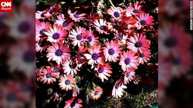 <a href='http://ireport.cnn.com/docs/DOC-945108'>Lauren Chmiel</a> from Las Vegas doesn't have to go far to enjoy the sight of blooming flowers. She captured these pink daisies in her backyard.