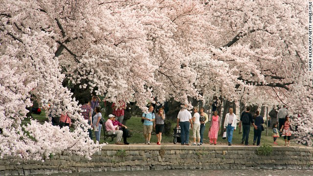 The walkway along Washington's Tidal Basin turns into a flowering cloud when the cherry blossoms arrive.