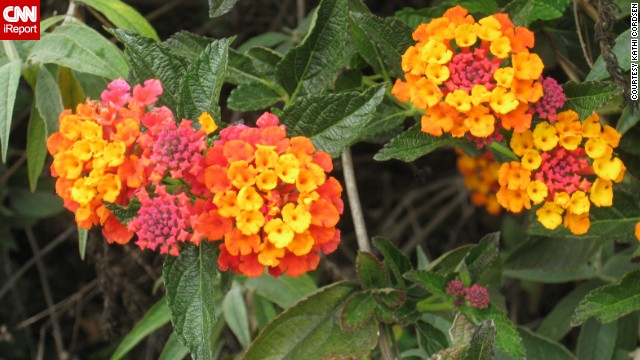 """The sweetest smelling blossoms"" of the orange tree tantalized <a href='http://ireport.cnn.com/docs/DOC-945243'>Kathi Cordsen</a> as she walked through her backyard on the first day of spring, she said. Nearby in her garden is a lantana bush, seen here."