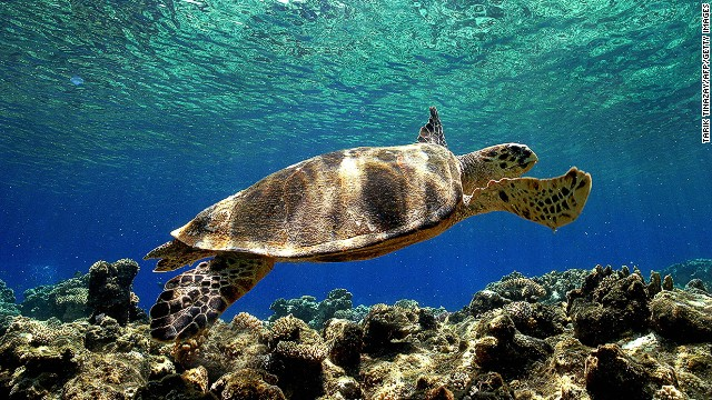 Upwards of one million sea turtles were estimated to have been killed as bycatch during the period 1990-2008, according to a report published in Conservation Letters in 2010, and many of the species are on the IUCN's list of threatened species.<!-- --> </br>