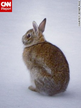 This spring bunny wonders where the grass has gone as he sits on a snowy lawn in upstate New York. <a href='http://ireport.cnn.com/docs/DOC-945612'>Zeynep Rice</a> and her husband spied on the furry fellow and pondered when spring will really begin.