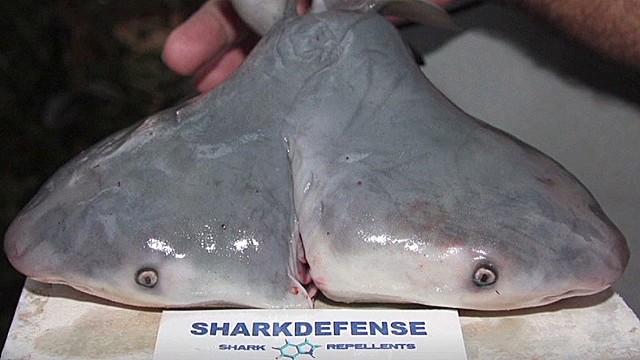 Descubren por primera vez un tiburón toro de dos cabezas