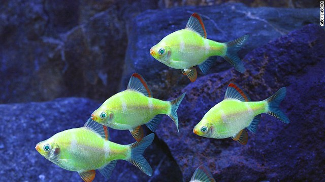 "Advances in biotechnology allow scientists to modify animals in ways that nature did not intend. <a href='http://www.glofish.com/' target='_blank'>GloFish</a> carry a fluorescence gene that makes them ""glow"" under a black light in a darkened room."