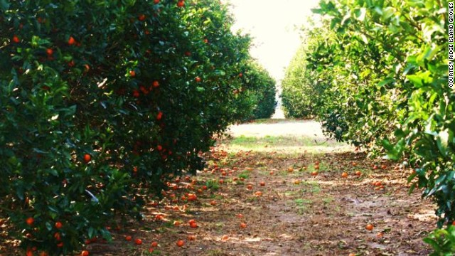 Pick your own oranges at Ridge Island Groves in Haines City.