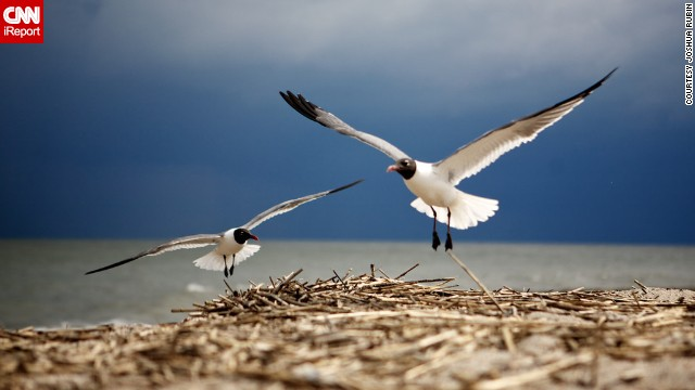 Joshua Rubin waited on the beach for half an hour before getting this perfect shot of two laughing gulls.