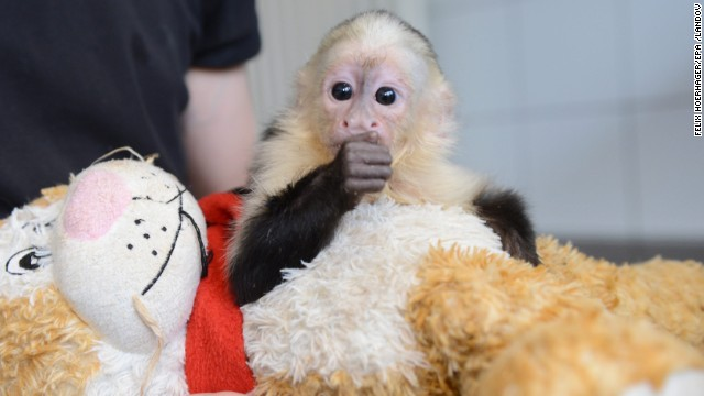 Bieber lost his pet monkey, Mally, when the capuchin was taken by custom officials in Germany at the end of March. Mally is shown here in the quarantine station at the Munich-Riem animal shelter in Munich.