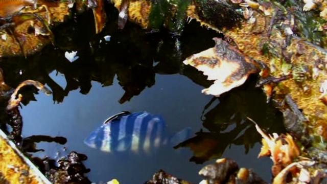 El increíble viaje de los peces-polizones que sobrevivieron al tsunami