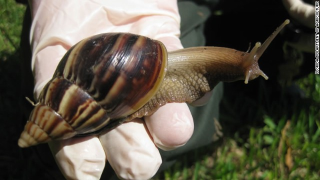 Giant African land snails can carry a human parasite called rat lungworm, which is a form of meningitis and potentially deadly.