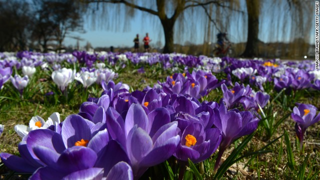 Blooming crocuses stand in a park in Hamburg, Germany, on Monday, April 15. Temperatures in the city are forcasted to reach up to 70 degrees Fahrenheit (21 degrees Celsius).