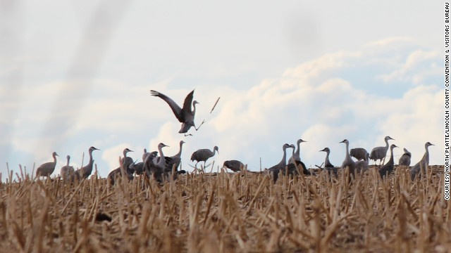 The sandhill crane spring migration, shown here in Nebraska, runs from February to April.