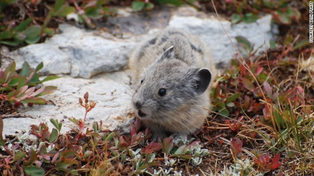 Naturalist Beth Pratt always hopes to see the pika (in the same family as the rabbit) on her annual spring hike of Gaylor Lakes trail in Yosemite.