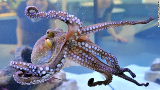 "An octopus is displayed at the State Museum of Natural History in Karlsruhe, southern Germany, as part of the exhibition ""Bottomless -- Through the Air and Under Water."""