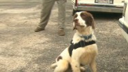 The ultimate bomb-sniffing dogs