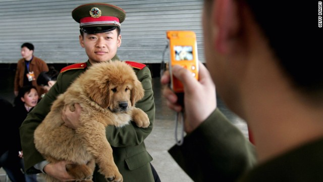 A Chinese soldier poses a photo with a Tibetan Mastiff at a Tibetan Mastiff in Longfang, some 100 kilometers southeast of Beijing, China. While the breed is becoming popular in cities, it is regarded as a 'primitive' breed; closer in its gene stock to wolves than domestic canines.