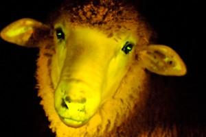 Modifican genes de ovejas con medusas