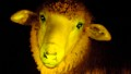 Glowing lambs born in Uruguay