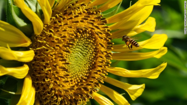 A bee harvests nectar on a sunflower as temperatures soar into the 90s on Saturday, April 27, in Quezon City, Philippines.