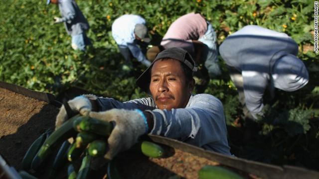 Migrant farm workers harvest zucchini at Grant Farms in Colorado.