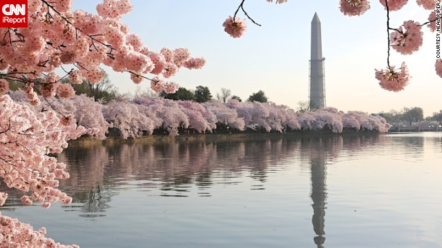 The Tidal Basin reflects the Washington Monument. Surrounding it are the famed cherry trees, a 1912 gift to the United States from Japan, in full bloom.