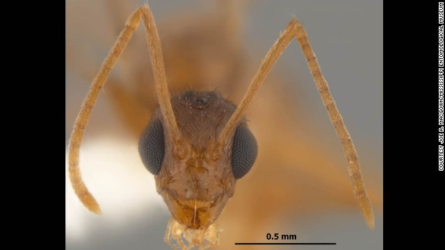 "Researchers at the University of Texas are warning that the invasive species from South America, ""tawny crazy ants."" has the potential to change the ecological balance in the southeastern United States. Photos courtesy Joe A. MacGown/Mississippi Entomological Museum."