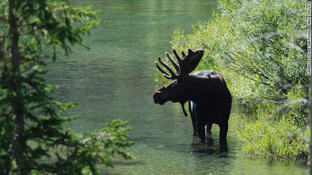 You can sometimes spot bull moose in Cascade Canyon.