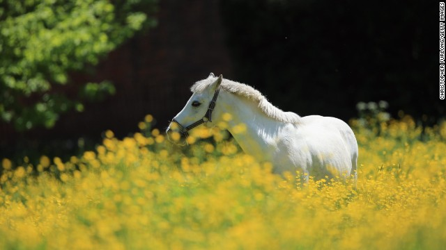 A horse grazes in a field of buttercups near the English village of Lapley on June 4.