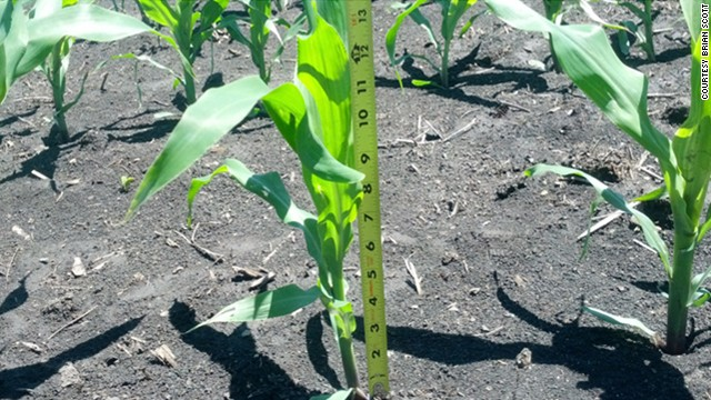 Corn crops - what a difference a year makes